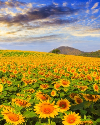 Sunflower Field Background for 240x320