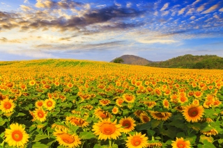 Free Sunflower Field Picture for Samsung Galaxy Tab 4G LTE