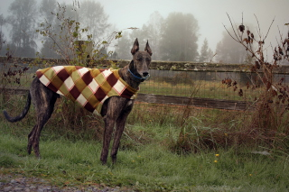 Brown Sighthound - Obrázkek zdarma