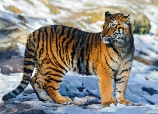 Tiger in Snow Background for Android, iPhone and iPad