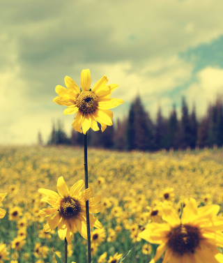 Field Of Gold Wallpaper for HTC Titan