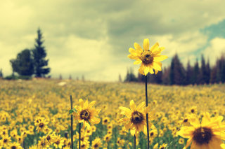 Free Field Of Gold Picture for Android, iPhone and iPad