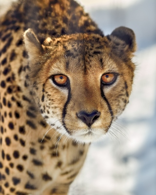 Southern African Cheetah Background for Nokia Asha 306