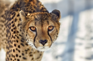 Southern African Cheetah Background for Desktop 1280x720 HDTV
