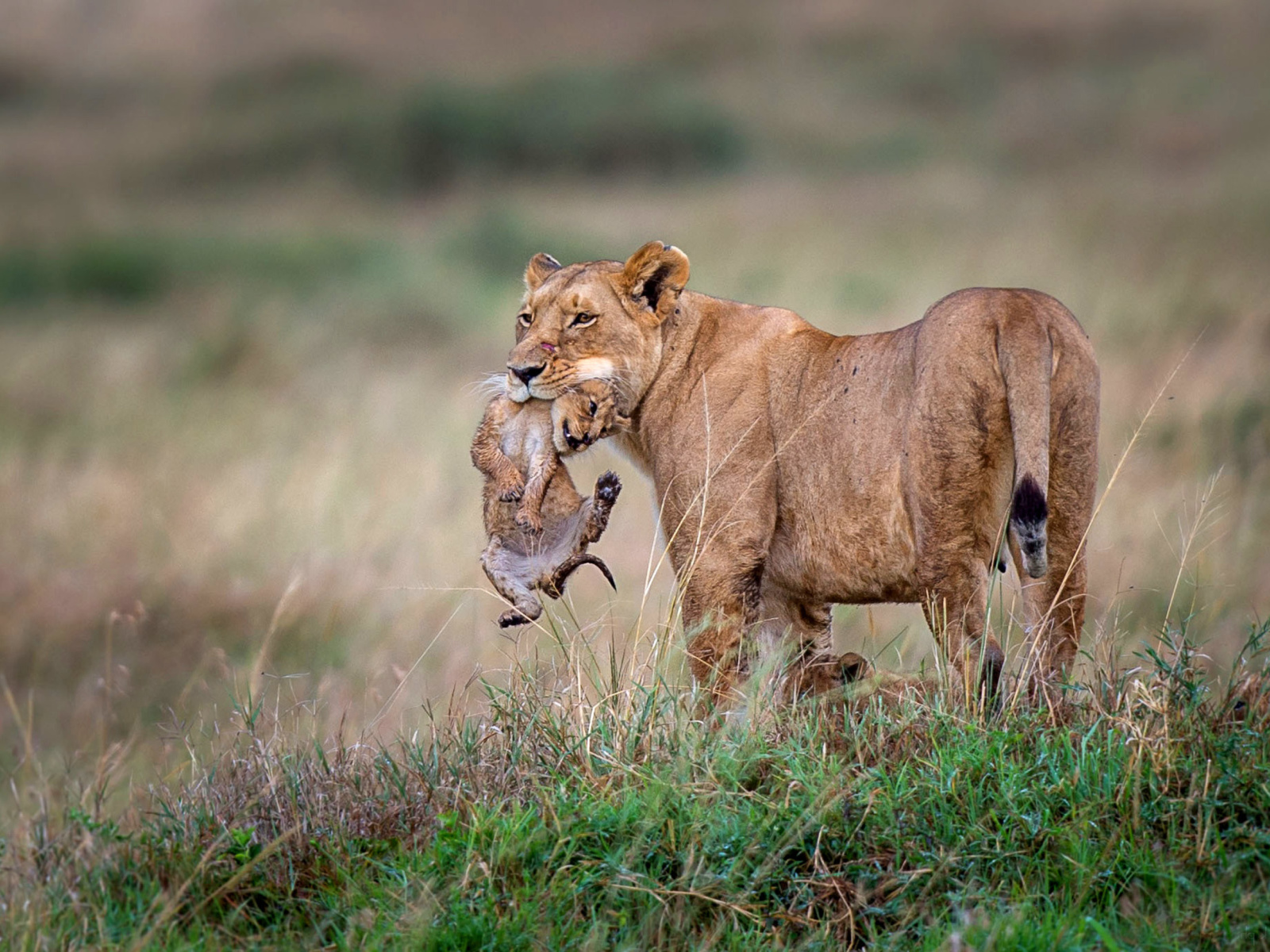 Sfondi Lioness with lion cubs 1600x1200