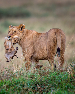 Lioness with lion cubs sfondi gratuiti per HTC Pure