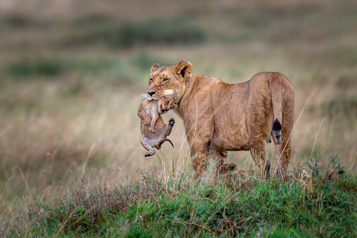 Lioness with lion cubs wallpaper