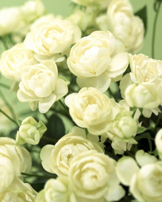 White Roses Background for iPhone 5C