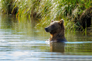 Bruiser Bear Swimming in Lake Wallpaper for Android, iPhone and iPad
