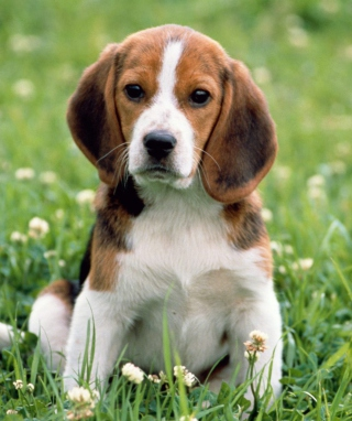 Beagle Dog Background for 240x320