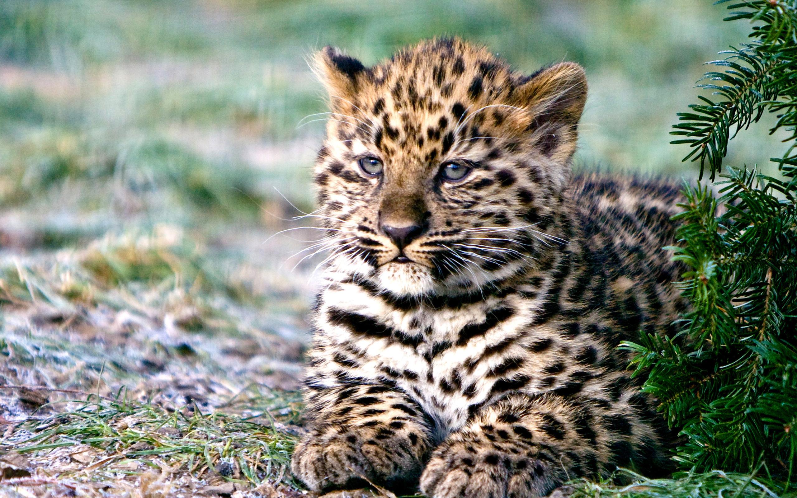 дальневосточный леопард фото на рабочий стол еще один