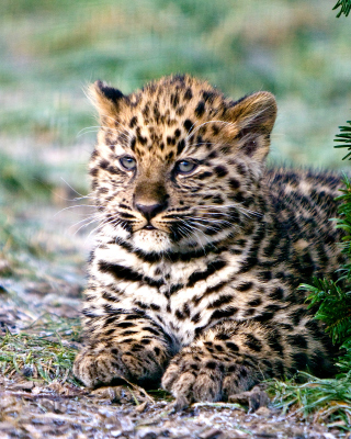 Amur Leopard Cub Wallpaper for HTC Titan
