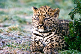 Amur Leopard Cub Background for Android, iPhone and iPad