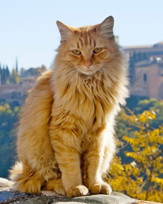 Cat in Granada, Andalusia Picture for iPhone 6 Plus