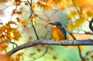 Kingfisher Background for Android, iPhone and iPad