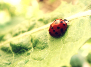 Ladybug On Green Leaf Background for Android, iPhone and iPad