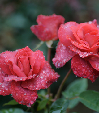 Dew Drops On Beautiful Red Roses - Fondos de pantalla gratis para Nokia C6-01
