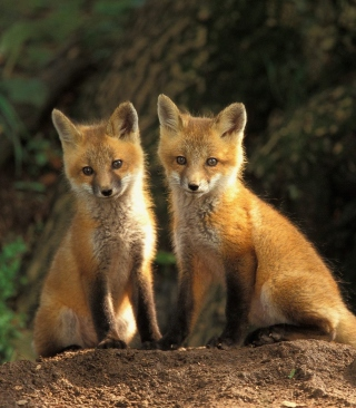 Free Baby Foxes Picture for HTC Titan