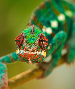 Colorful Chameleon Macro Background for Nokia Asha 308