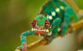 Colorful Chameleon Macro Background for HTC One X