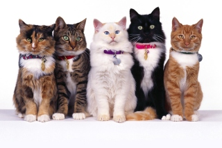 Cat Show Background for Android, iPhone and iPad