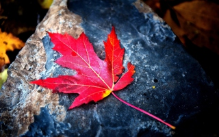 Free Red Maple Leaf Picture for Android, iPhone and iPad