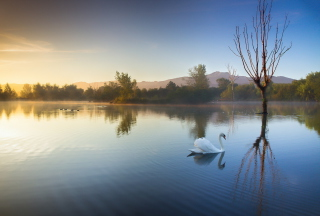 White Swan On Lake Picture for Android, iPhone and iPad