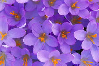 Crocus Background for Android, iPhone and iPad