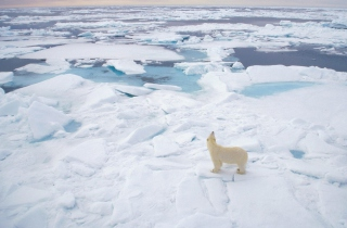 Polar Bear On Ice Picture for Android, iPhone and iPad