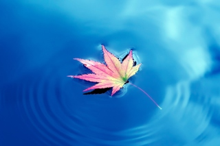 Free Maple Leaf On Ideal Blue Surface Picture for Android 480x800