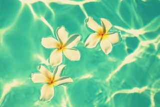 Free Plumeria Flowers In Turquoise Water Picture for Android, iPhone and iPad