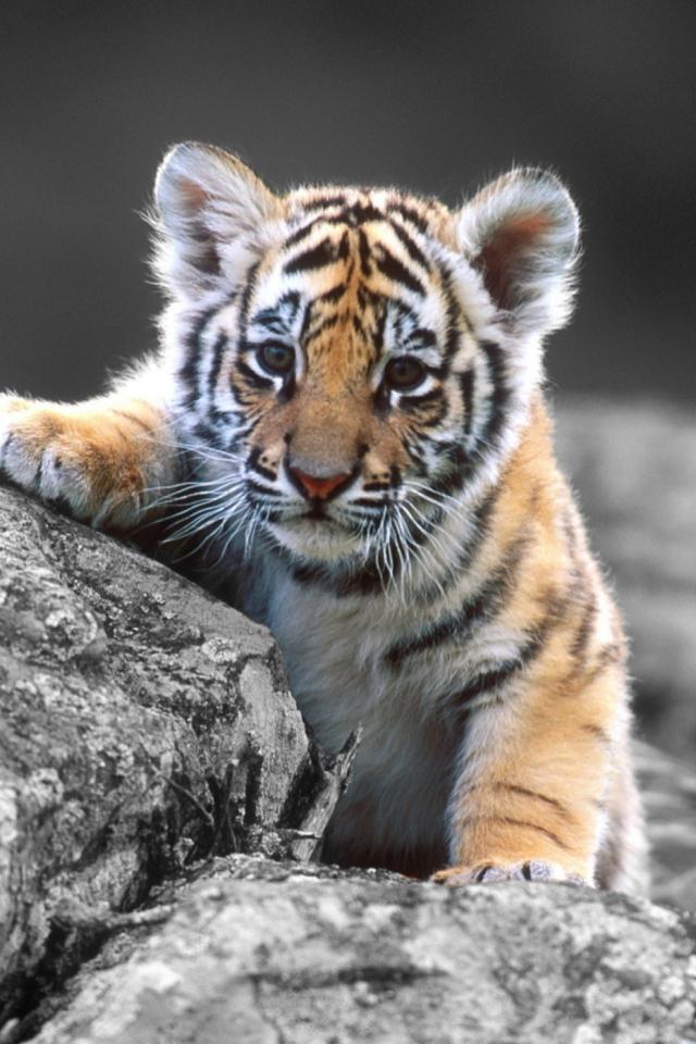 Картинки тигра на телефон, открытка мужчине летием