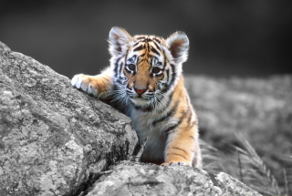 Tigers Cub Wallpaper for Android, iPhone and iPad
