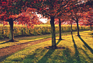 Обои Vineyard In Autumn для Android
