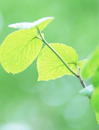 Fresh Green Leaves Background for iPhone 4S