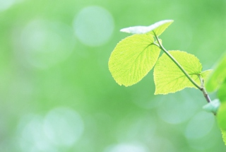Fresh Green Leaves Wallpaper for LG P970 Optimus