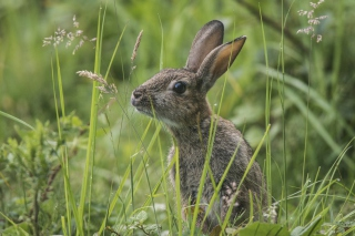 Wild Hare Picture for Android, iPhone and iPad