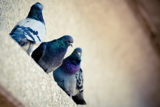 Grey Pigeons Background for Android, iPhone and iPad