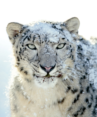 Free Snow Leopard Picture for HTC Titan