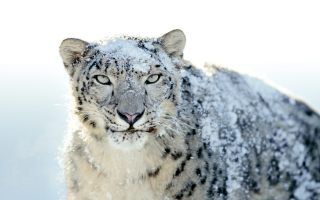 Snow Leopard Background for Android, iPhone and iPad
