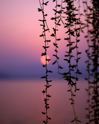 Sunset Through Branches Background for Nokia C1-01