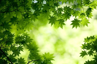 Green Maple Leaves Picture for Android, iPhone and iPad