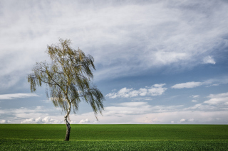 Lonely Birch on Field Picture for Android, iPhone and iPad