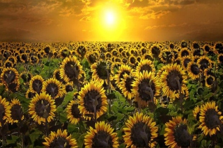Sunrise Over Sunflowers - Fondos de pantalla gratis