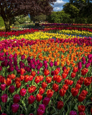 Spring Tulips Garden Background for HTC Titan