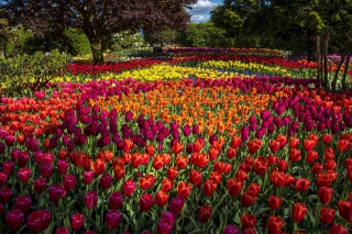 Spring Tulips Garden Background for Android, iPhone and iPad