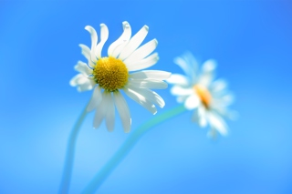 Windows 8 Daisy Flower Wallpaper for Android, iPhone and iPad