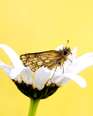 Butterfly and Daisy sfondi gratuiti per iPhone 6
