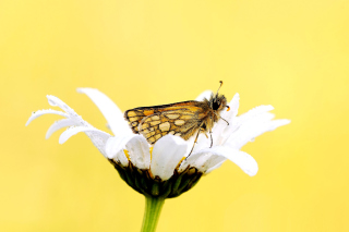 Kostenloses Butterfly and Daisy Wallpaper für Android, iPhone und iPad