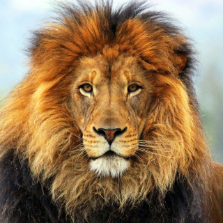 Lion Big Cat Wallpaper for iPad 3